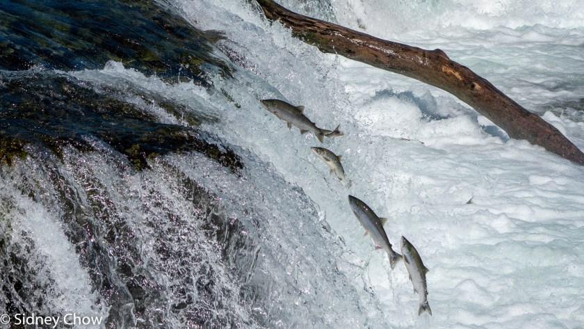 SSO00521-1024x576 Katmai National Park: Bears, Salmon, and Volcanoes