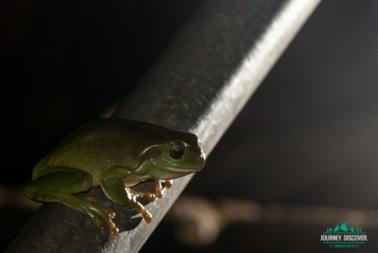 A green tree frog on a pole at night