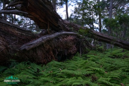 Fallen Log At Goomburra