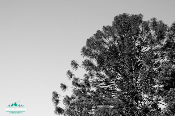 Bunya Tree, Bunya Mountains National Park