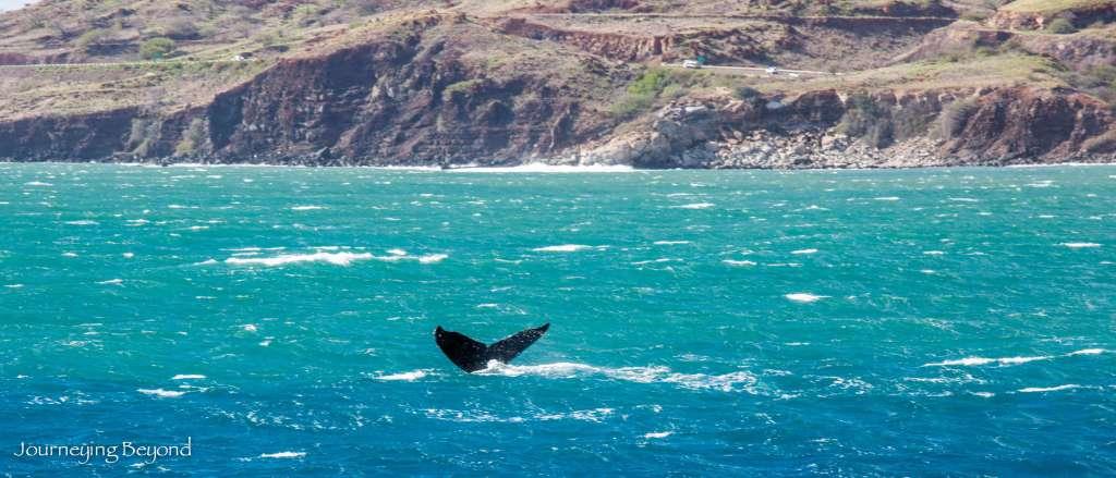 Maui Whales-9