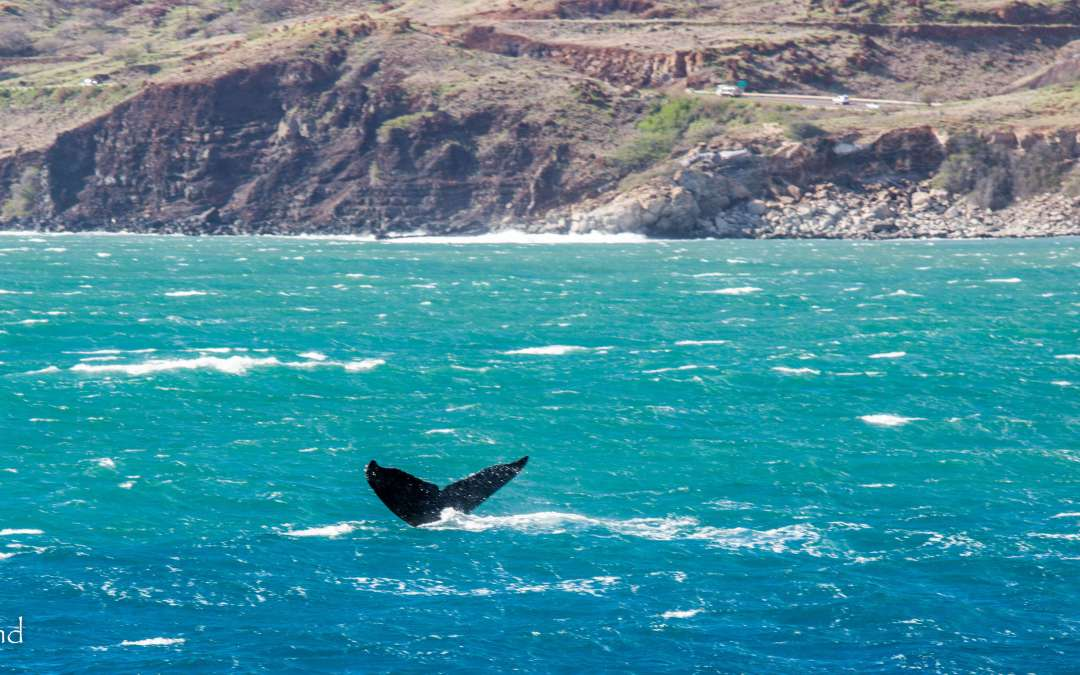 Hawaii's Most Magnificent Visitors ~ the Humpback Whales