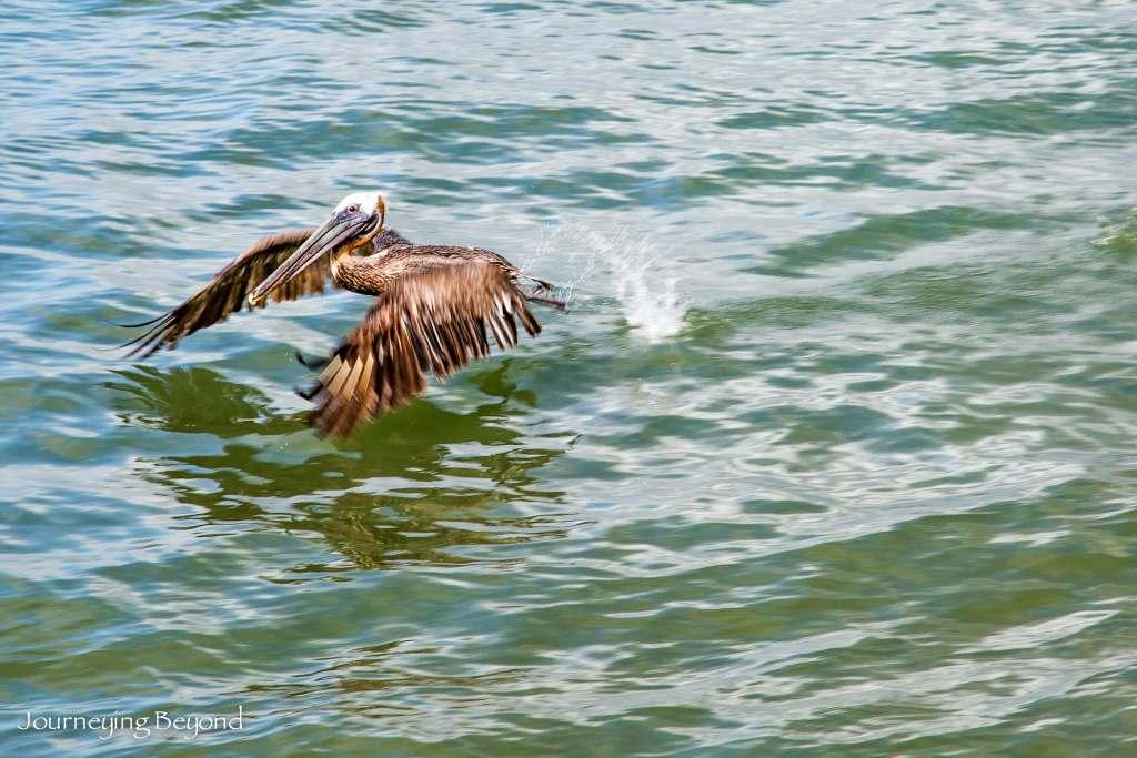 Old San Juan Pelican-6