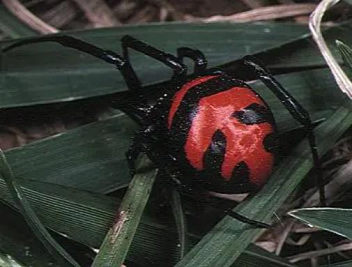Thailand's Black Widow Spider