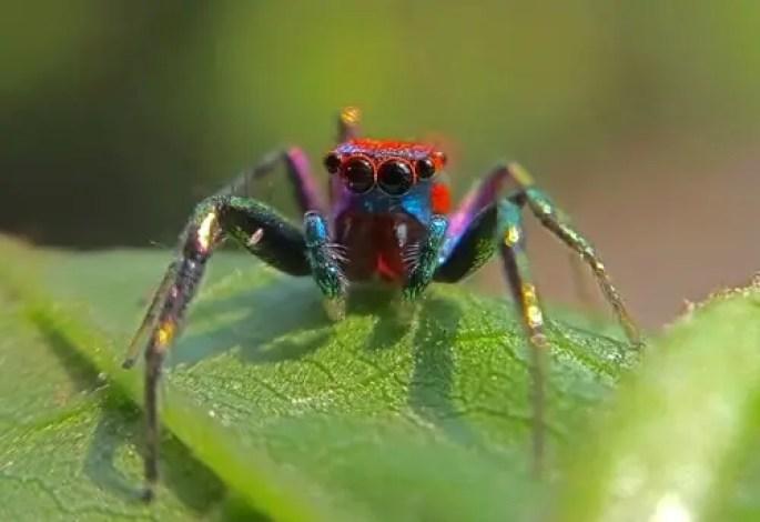 Elegant Golden Jumping Spider in Thailand