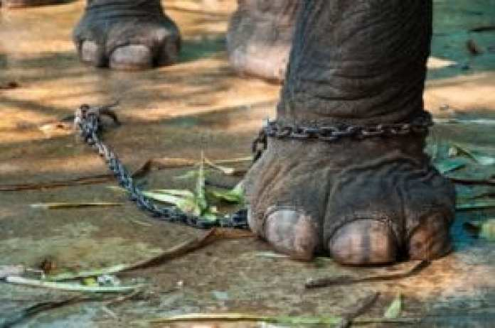 elephant chained thailand
