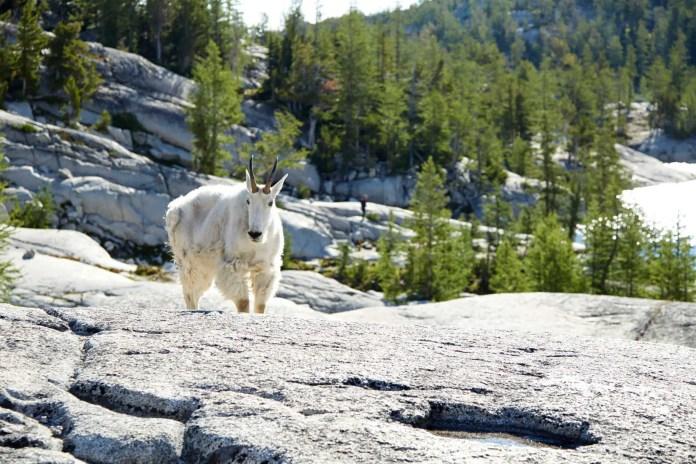 Mountain goat standing on rocky hillside