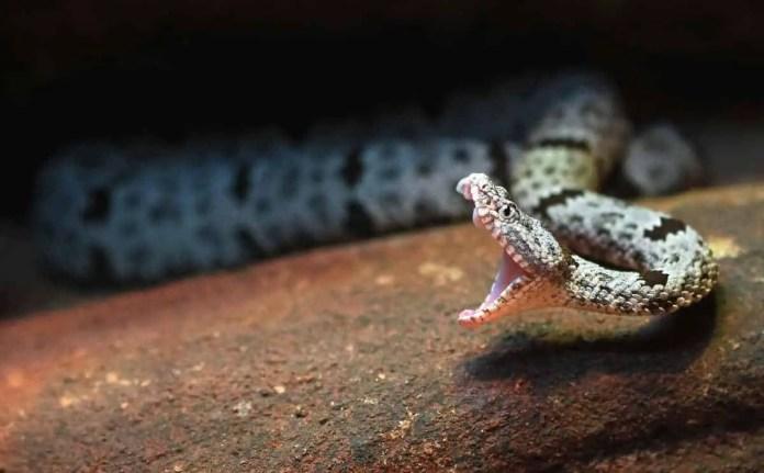 A rattlesnake in mid strike