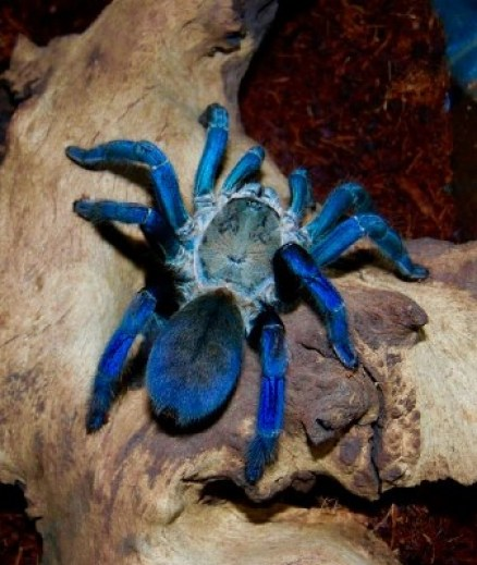 The Cobalt Blue, one of the Tarantulas in Thailand