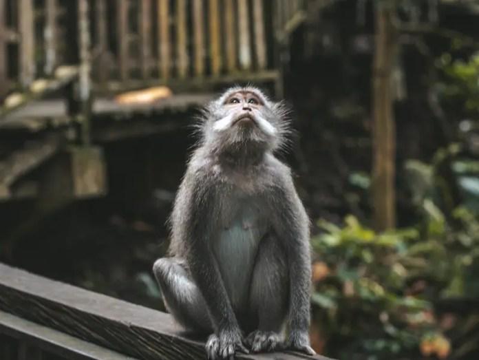 wild monkeys bali