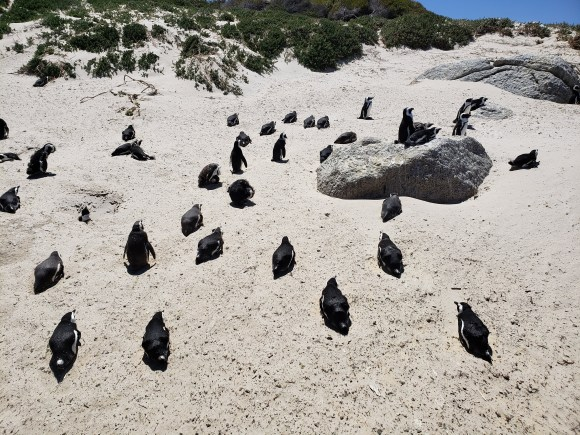 black and white African Penguins resting in warm white sand