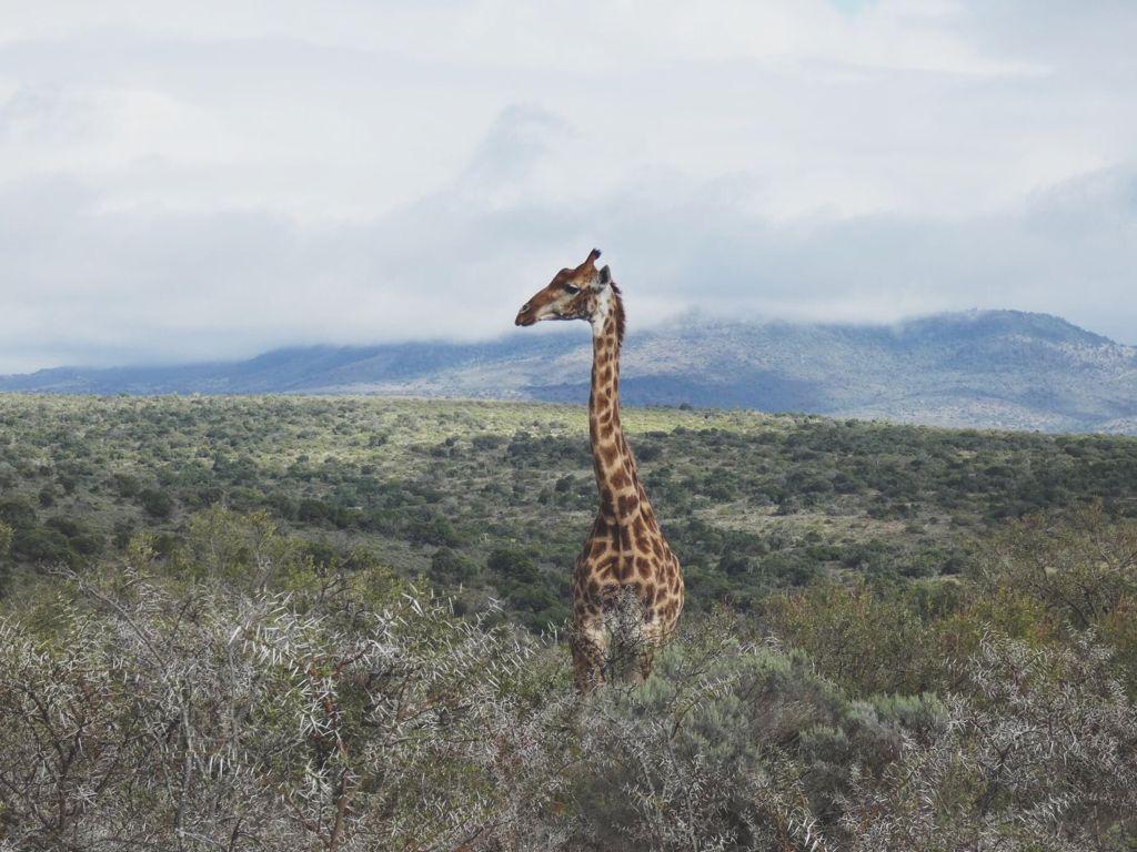 Lone giraffe in the African bush