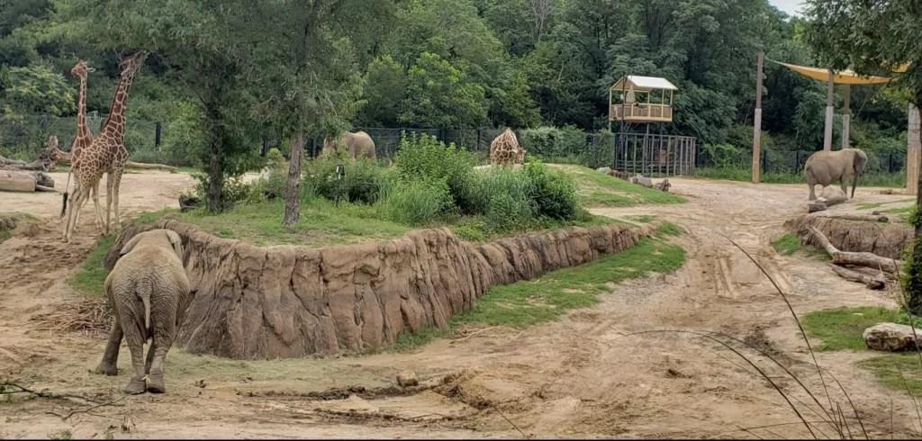 elephants, giraffe and kudu at the Dallas Zoo