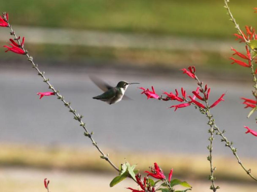 Hummingbird Nectar Sources Late Summer Fall