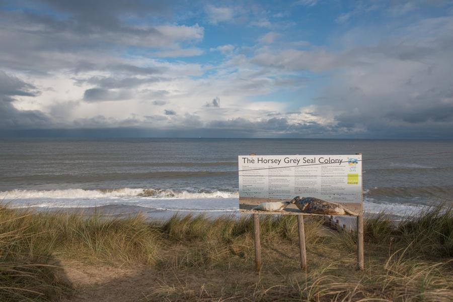 Grey Seal Colony at Horsey Gap