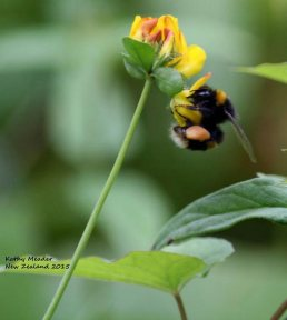 New-Zealand-flower-and-bee