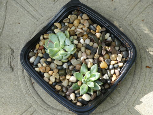 DIY: Succulent Garden with Chick-Fil-A Container