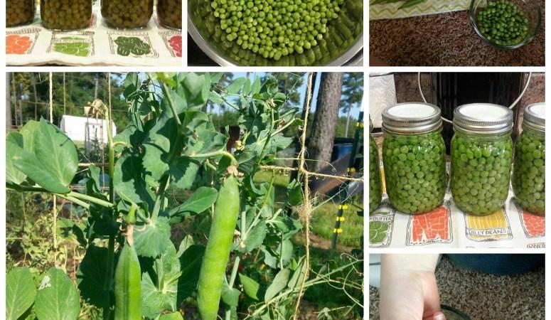 Peas Please! Garden Recap on a Tricky Crop