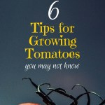 6 Tips for Growing Tomatoes | Journey with Jill