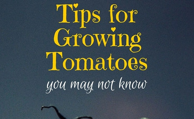 6 Tips for Growing Tomatoes You May Not Know
