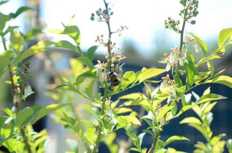 Bees on Blueberries | Journey with Jill