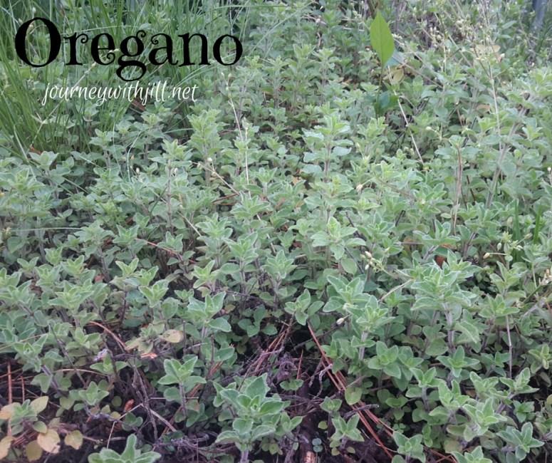 Oregano - My Favorite Herbs | Journey with Jill