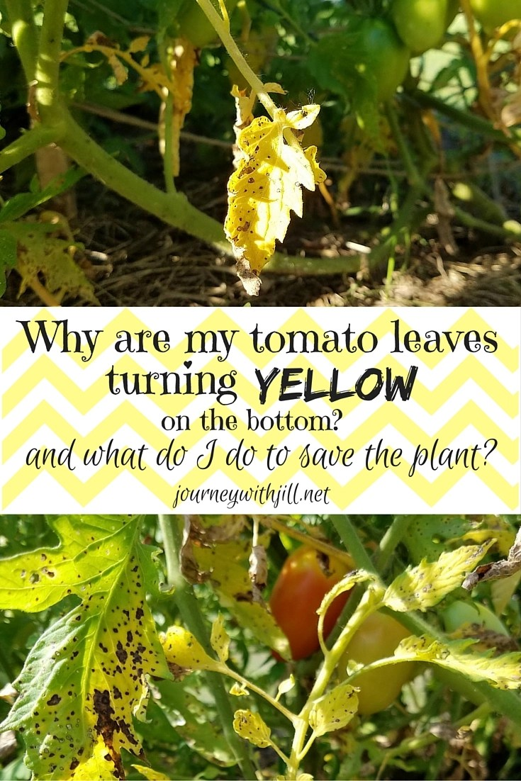 When tomato plants have yellow leaves at the bottom, what should I do?