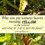 Yellow Leaves at the Bottom of Your Tomato Plants?