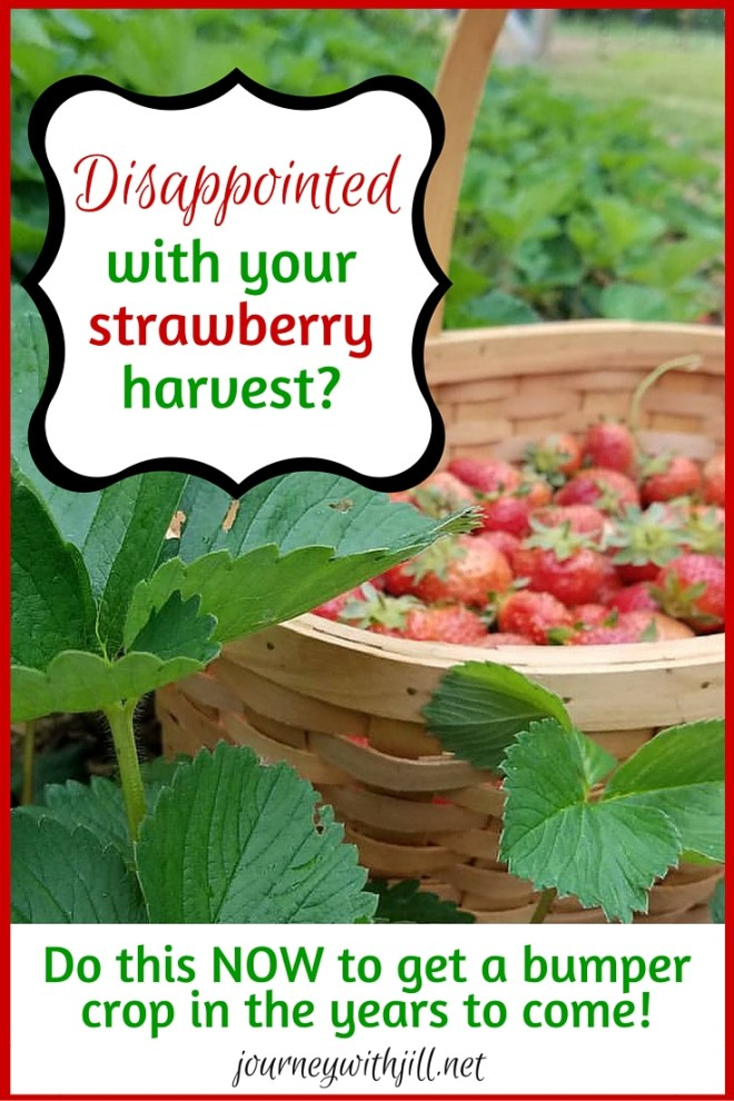 Disappointed in Your Strawberry Harvest? | Journey with Jill