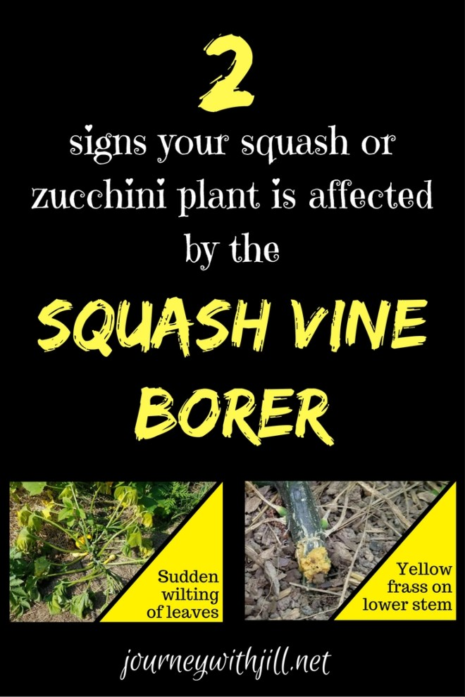 squash vine borer signs | Journey with Jil