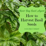 Never Buy Basil Again: How to Quickly Harvest & Save Basil Seeds