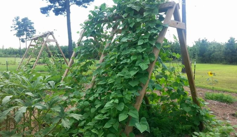 How to Build an A-Frame Trellis for Beans, Peas, & More