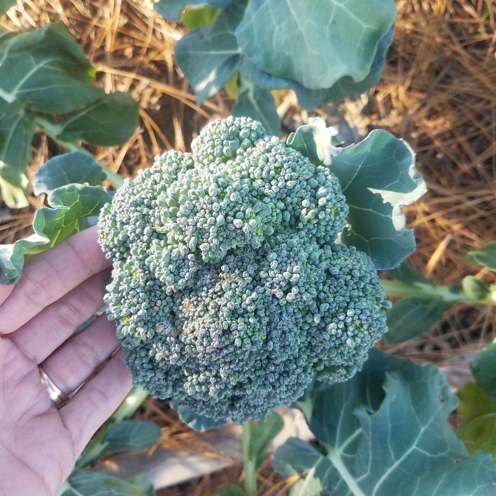 broccoli in a fall garden