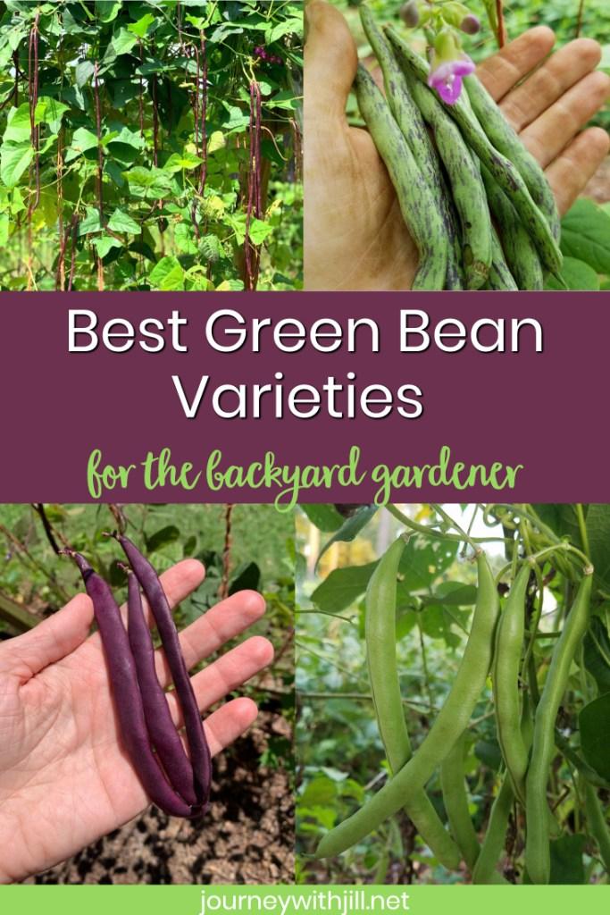 best green bean varieties for the backyard gardener