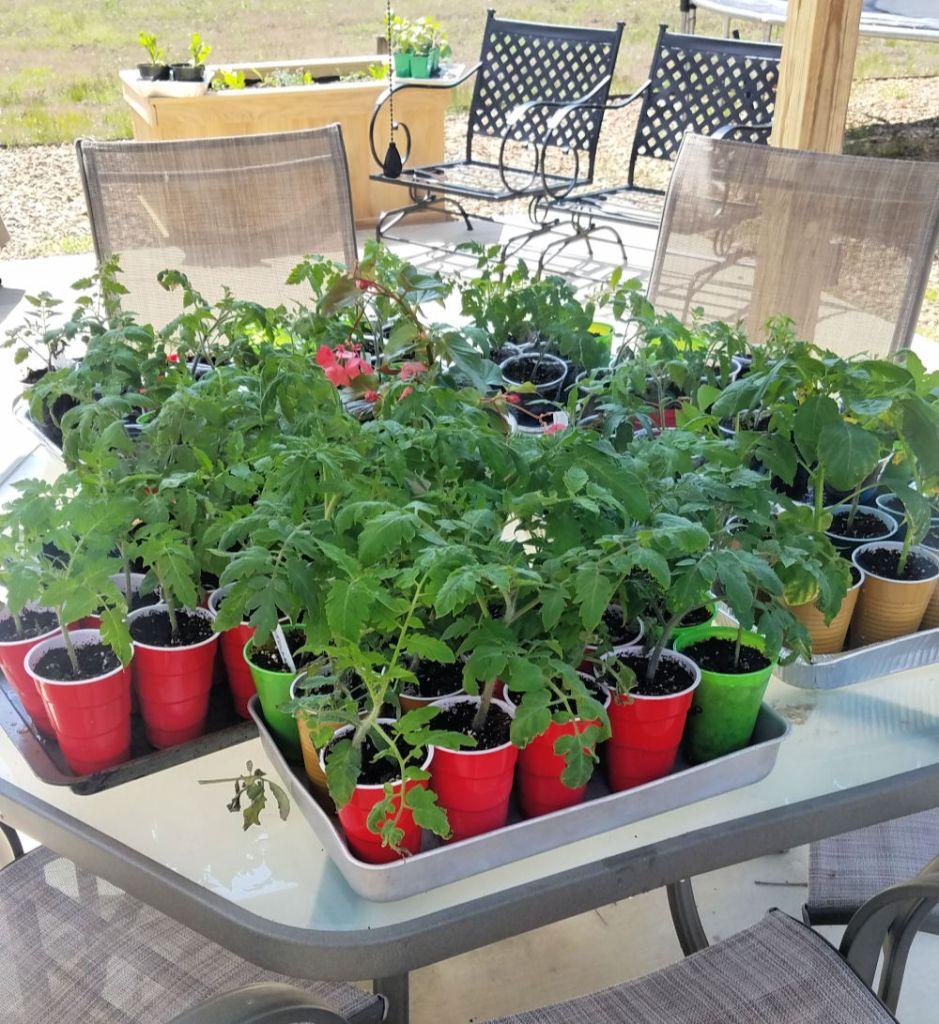 tomato transplants hardening off under shade