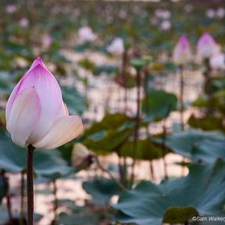 Walking in the lotus fields