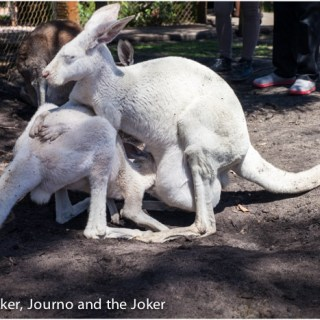 Postcard greetings – white kangaroos at Whiteman Park