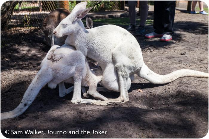 White kangaroos at Whiteman Park, Perth