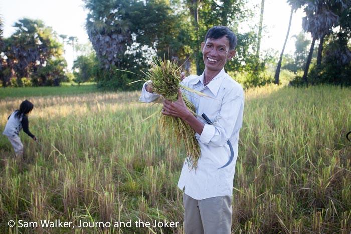 Marom harvesting rice