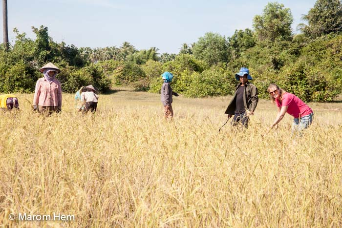 Sam harvesting rice