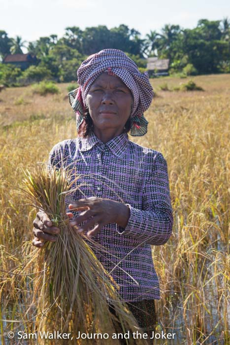 Rice harvest, woman in traditional Khmer clothes