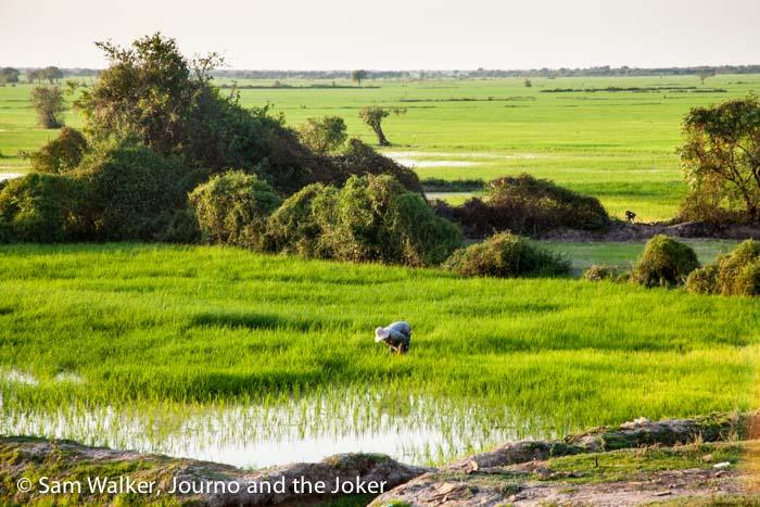 Rice field Cambodia