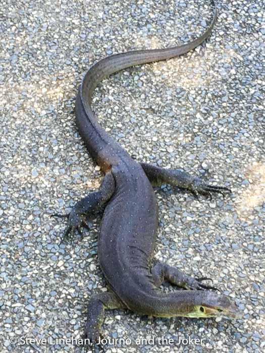 Monitor lizard, Northern Territory
