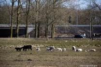 natuur-dieren-schapen-noorderhoogebrug 2013-2