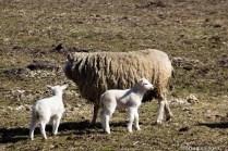 natuur-dieren-schapen-noorderhoogebrug 2013-3