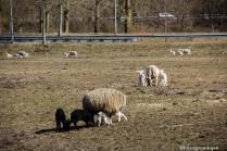 natuur-dieren-schapen-noorderhoogebrug 2013-7