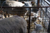 natuur-dieren-schapen-noorderhoogebrug 2013-9
