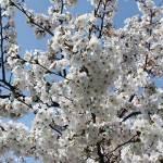 Cherry Blossoms @ Bundang