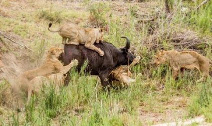 videos-de-animales-leones-cazando-bufalos-compressor