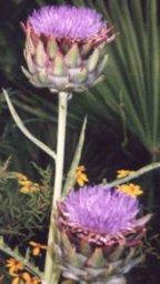 ArtichokeBlossom